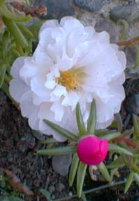 White Moss Rose