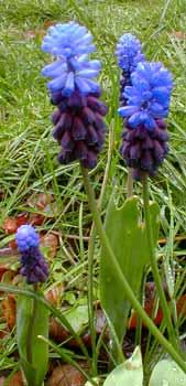 M. latifolium