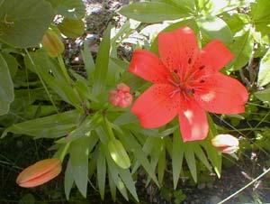 Dwarf Lily