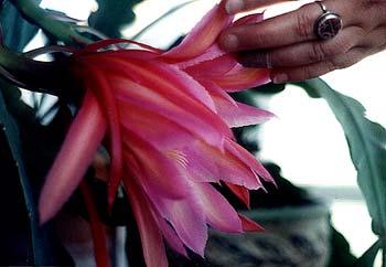 June Orchid Cactus