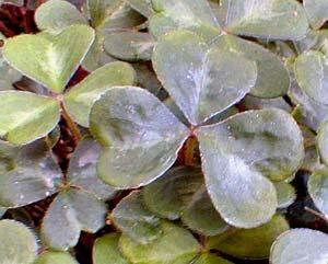 Oregon Oxalis