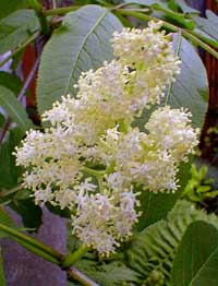 Pacific Elderberry Bloom