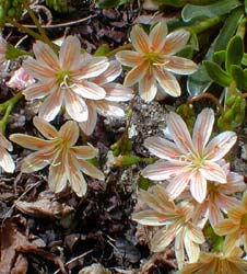 Orange Lewisia