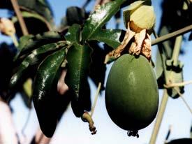 Passiflora fruit
