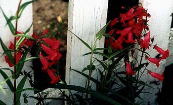 Garnet Penstemon