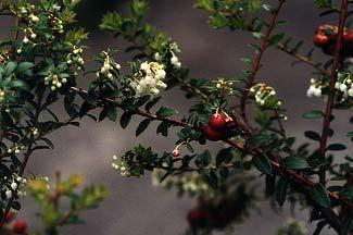 Blooming Pernettyas