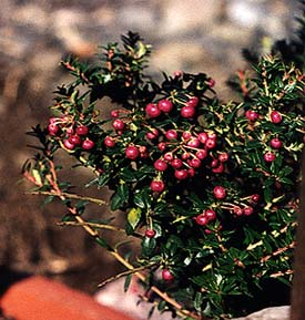 Pernettya Berries.Paghat S Garden Pernettya