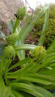 S. peruviana