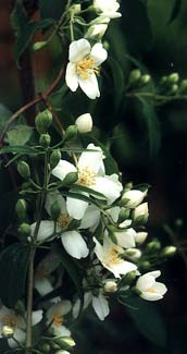Lewis's Mock Orange Opening Buds