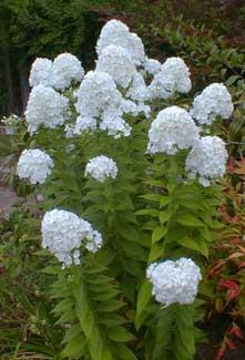 Paghats garden phlox paniculata david white phlox mightylinksfo