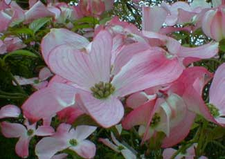 Paghats garden cornus florida var rubra the pink dogwoods flowers of late april early may are followed by bright red fruits in clusters though theoretically edible they have insufficient mightylinksfo