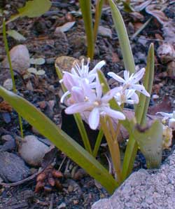 Rosy Squill