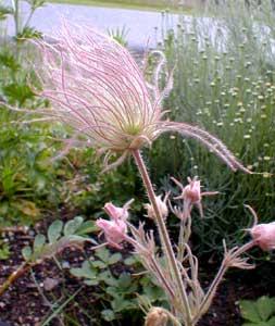 Paghats garden geum triflorum geum mightylinksfo