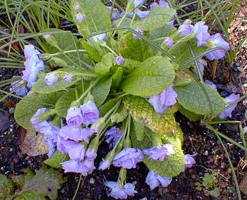 Quaker Flower
