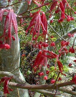 A. palmatum blooms