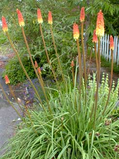 Red hot poker plant varieties valeur point jeton poker