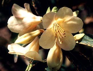 Alison Johnstone Rhododendron