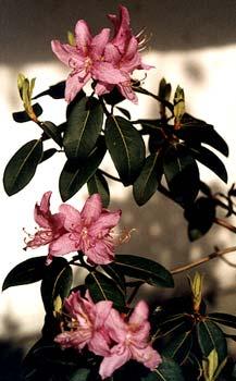 R. concinnum