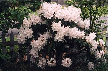 Loder's White Rhododendron