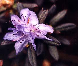 Oceanlake Bloom