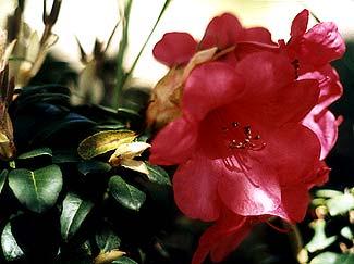 Whisperingrose Bloom