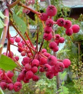 Rowenberries