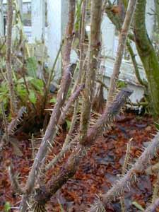Rugosa  thorns