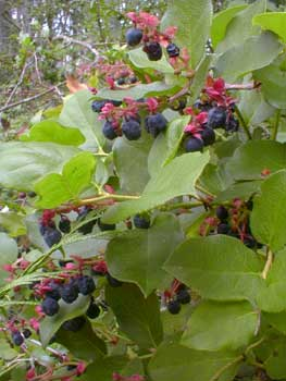 Salal in bloom
