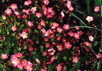 Saxifraga blossoms
