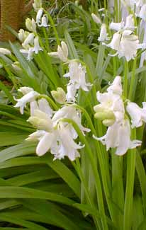 White Squill