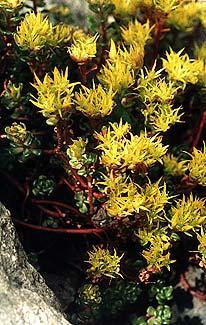 Stonecrop Flowers
