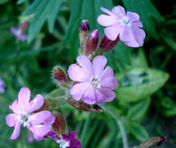 Variegated Catchfly