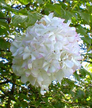 Paghats Garden Viburnum Opulus Var Sterile Roseum