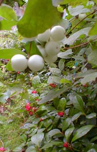 Snowberry fruit