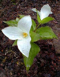 Snowy Trillium