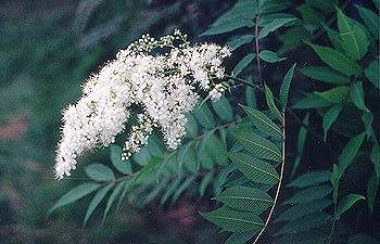 Ash Leaf Spiraea
