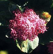 Rosy Spirea