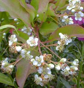 Stranvaesia in Spring