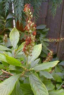 Summersweet Fruit Pods