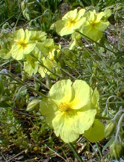 Yellow Sunrose