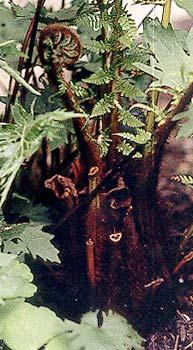 Tree Fern croziers