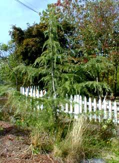 Deodar Cedar