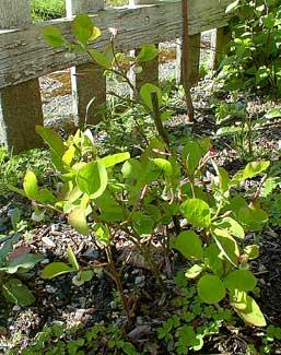 Cascade Huckleberry