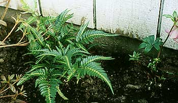 Shield Fern in Winter
