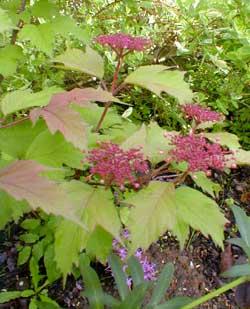 Highbush Cranberry Buds