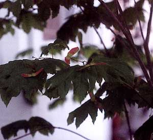 Vine Maple Seeds