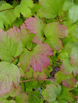 Autumn Leaves Gallery: 'Wentworth' Highbush Cranberry
