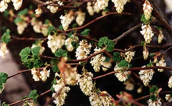Paghats garden ribes sanguineum white icicle white currant blossoms mightylinksfo