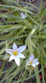 White-eyed grass