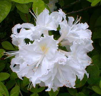 Whitethroat Azalea